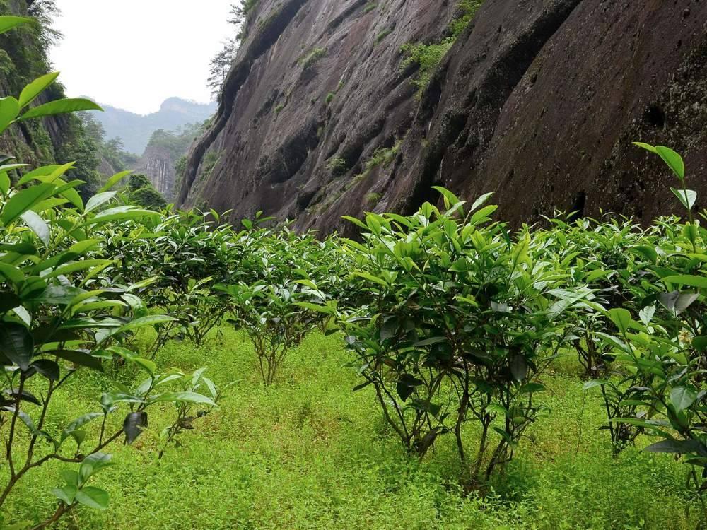 Drzewko herbaciane
