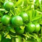 Pu-erh w zielonej skórce mandarynki